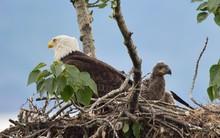 Baby Eagle