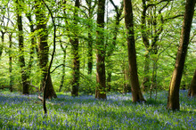 Bluebells And Beech Trees In A...