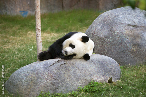 Giant black and white panda relaxing in Ocean Park HK Poster