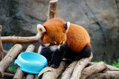 Photo  Red panda of the Ocean Park in Hong Kong