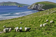 Sheep Grazing On Irish Coast