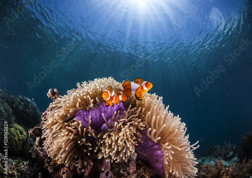 Leinwand Poster anemone and clown-fish