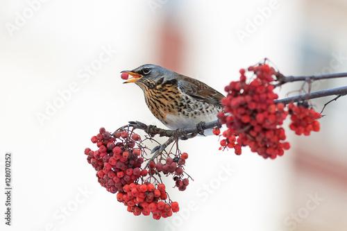 Photo  the thrush bird eats the ripe red Rowan berries in winter Park