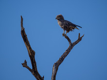 Portrait Of African Brown Snake Eagle Looking Over Shoulder Sitting On Dead Tree With Blue Sky, Moremi NP, Botswana
