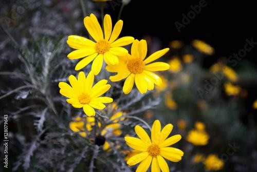 Plakat Dzikie żółte stokrotki