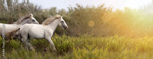 Website banner of beautiful white horses as running in the field