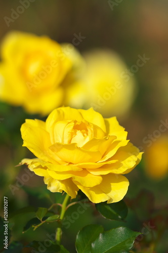 Garden Poster Narcissus 薔薇