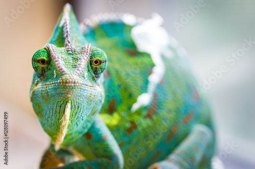 Photo sur Toile Cameleon Chameleon Macro Reptile 3 (Eyes Straights)
