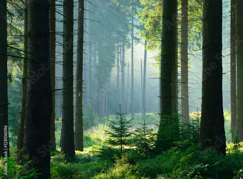 Fototapeten Wald Unberührter nebliger naturnaher Fichtenwald im Gegenlicht, Nationalpark Harz