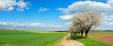 Kirschbäume In Voller Blüte, Feldweg Durch Felder Im Frühling