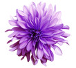 canvas print picture pink flower on a white   background isolated  with clipping path. Closeup. big shaggy  flower. Dahlia..