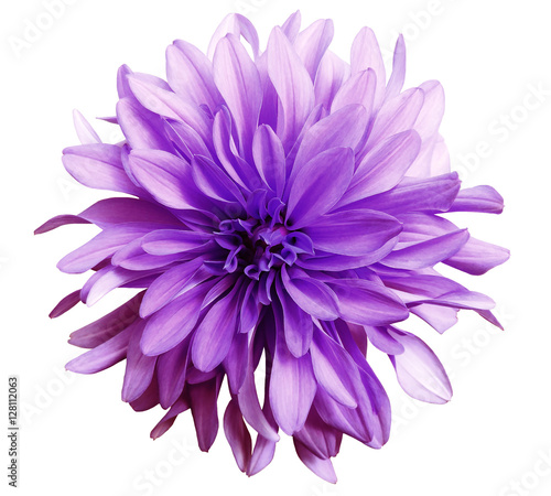 Cadres-photo bureau Fleuriste pink flower on a white background isolated with clipping path. Closeup. big shaggy flower. Dahlia..