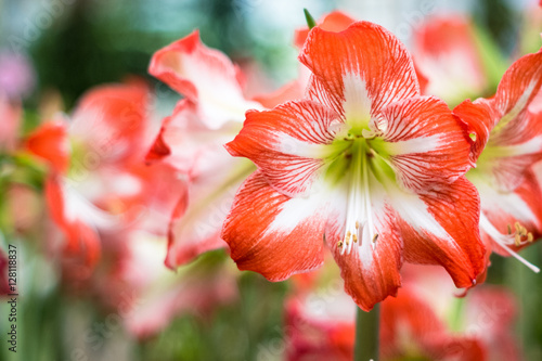 Hippeastrum Amaryllis red flowers Canvas Print