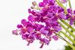 Violet Mokara Vanda orchids.