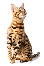 Bengal Cat On White Background Quietly Sits And Looks Up With Interest
