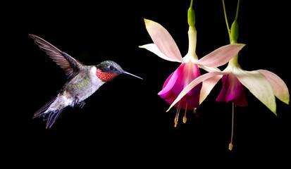Panel Szklany Eko Hummingbird feeding on Hardy Fuchsia Flowers