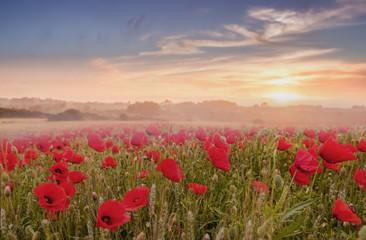 FototapetaRed poppy field