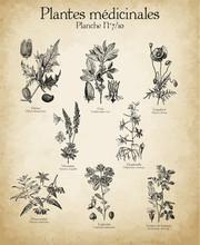 Gravures Anciennes Plantes Mé...