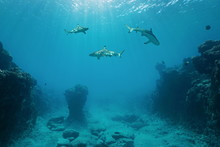Three Blacktip Reef Sharks Und...