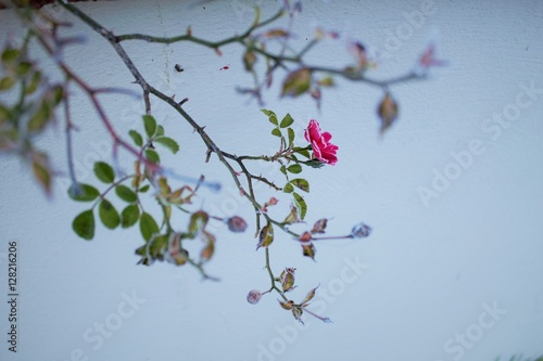 Poster Nature frosted roses,