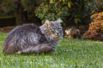 Naklejka na ściany i meble Grey long-haired cat on the frozen lawn