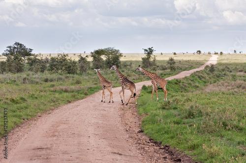 Three Giraffes (Giraffa camelopardalis) run through road in savanna against acacia tree and cloudy sky background Poster