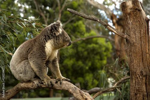 Garden Poster Koala Koala in a tree