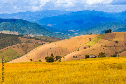 Poster Rijstvelden golden color Stepped rice filed in Chiang Mai, northern Thailand