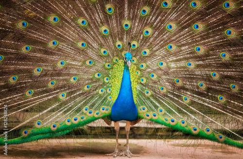 Foto op Aluminium Pauw Portrait of beautiful peacock