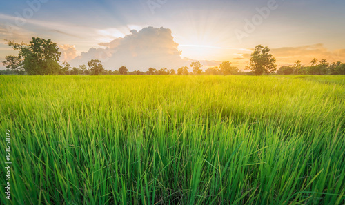 Photo sur Aluminium Sauvage Rice field green grass landscape sunset