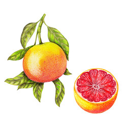 Panel Szklany Owoce Isolated botanical illustration of grapefruit