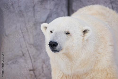 Staande foto Ijsbeer シロクマの顔
