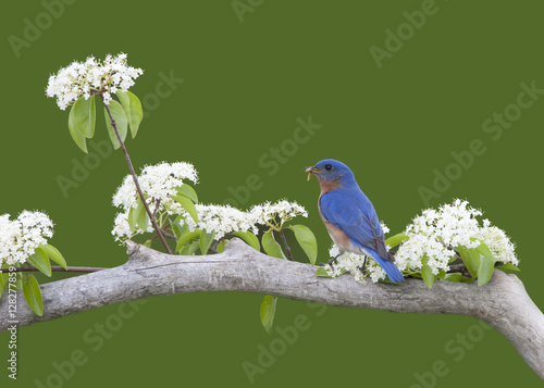Valokuva  Bluebird Perched in White flowers