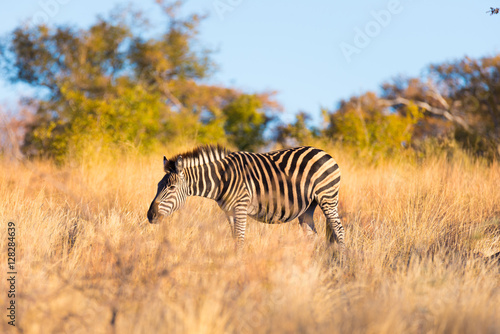 zebra-grazing-in-the-bush-at-sunset