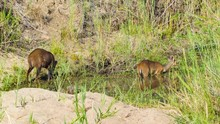 Bushbuck Male And Female Pair ...