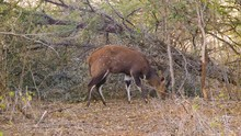 Bushbuck Male Grazing In Natur...
