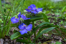Spiderwort Flowers In Virginia Forest