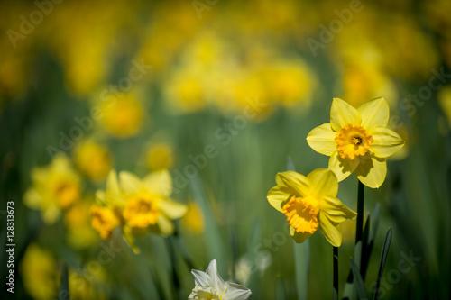 Deurstickers Narcis Daffodils