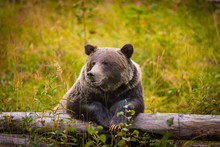 Wild Grizzly Bear In Banff Nat...