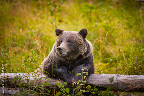 Fotografie, Tablou  Wild Grizzly Bear in Banff National Park in the Canadian Rocky Mountains