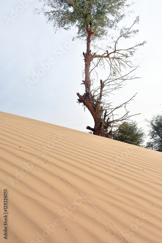 Photo  Trees on desert around Dubai with dunes, United Arab Emirates