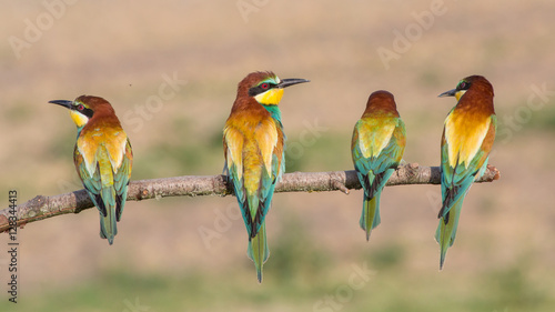Photo European bee-eaters in a row (Merops apiaster), Italy
