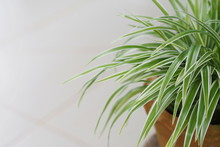 Spider Plant With White Backgr...