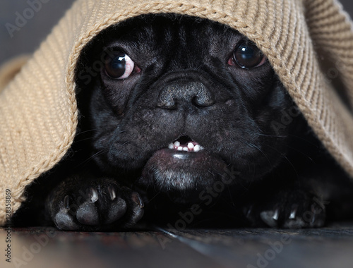 Fotografía  Amazing dog face with round eyes peeking out from under the rug