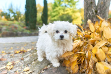 Maltese Dog Standing Next To The Autumn Leaves.