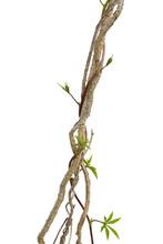 Dried Liana Plant With Wild Mo...