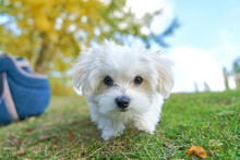 Cute Small Maltese In Front Of A Camera