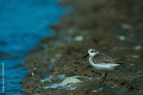 Valokuva  Spoon-billed sandpiper in nature Thailand