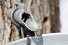 Maple Sap Dripping Into Bucket - Macro - Shallow Depth Of Field