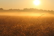 Foggy Sunrise over Grassy Meadow in Bialowieza National Park